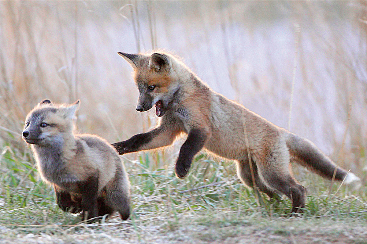 Foxes - animal dispersal