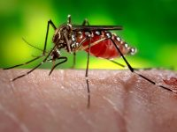 Why do only female mosquitoes bite?