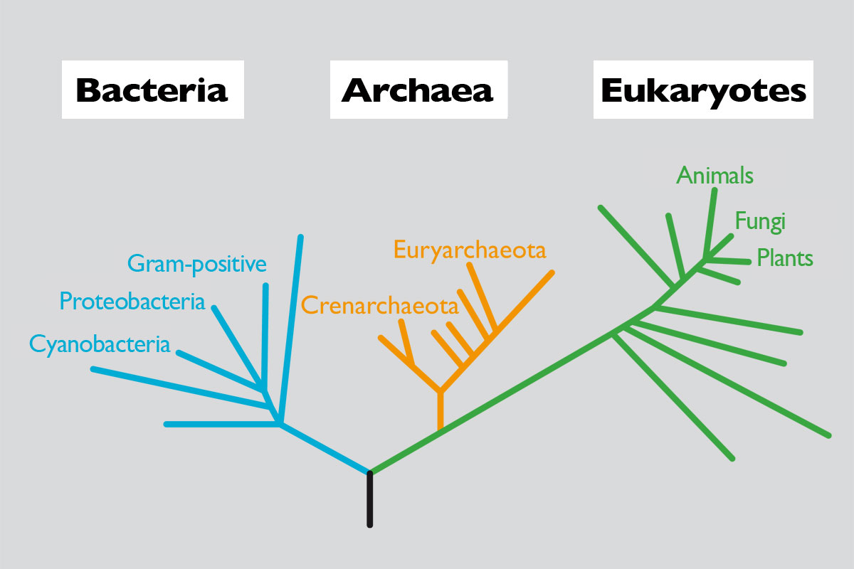 The Size Of Genome And Complexity Living Beings Revista Cell This Diagram Shows Structure A Typical Prokaryotic Phylogenetic Relationship Between Members Three Domains Cellular Life Based On 16s Rdna Gene In Turn Each Domain We Find
