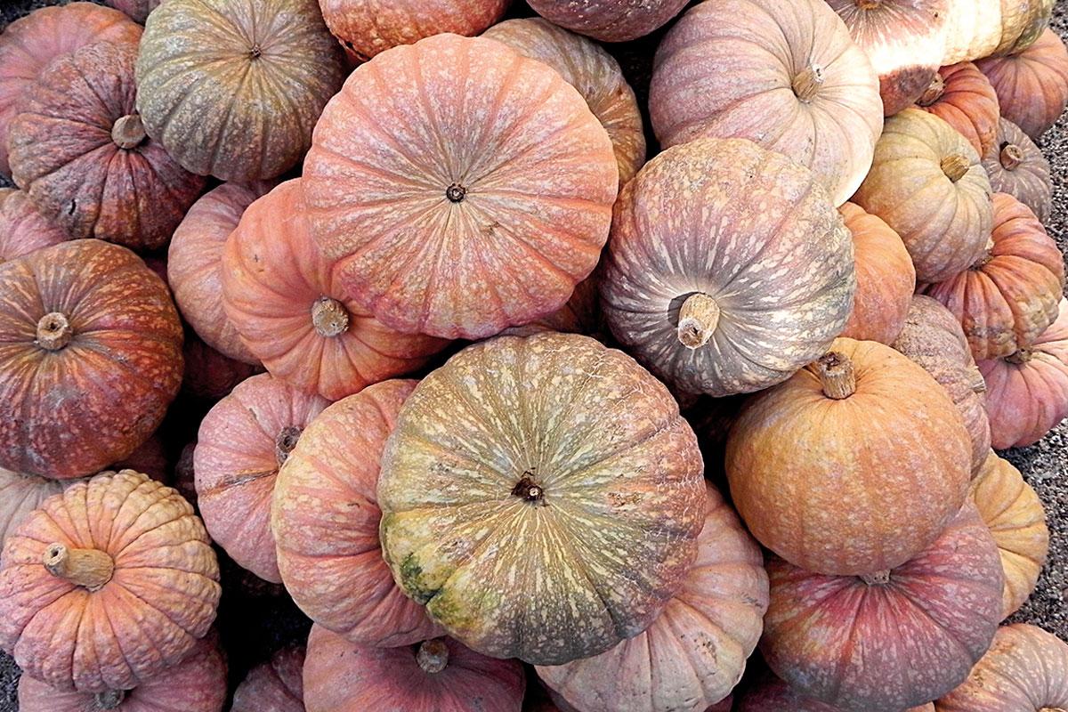 Diverse pumpkins