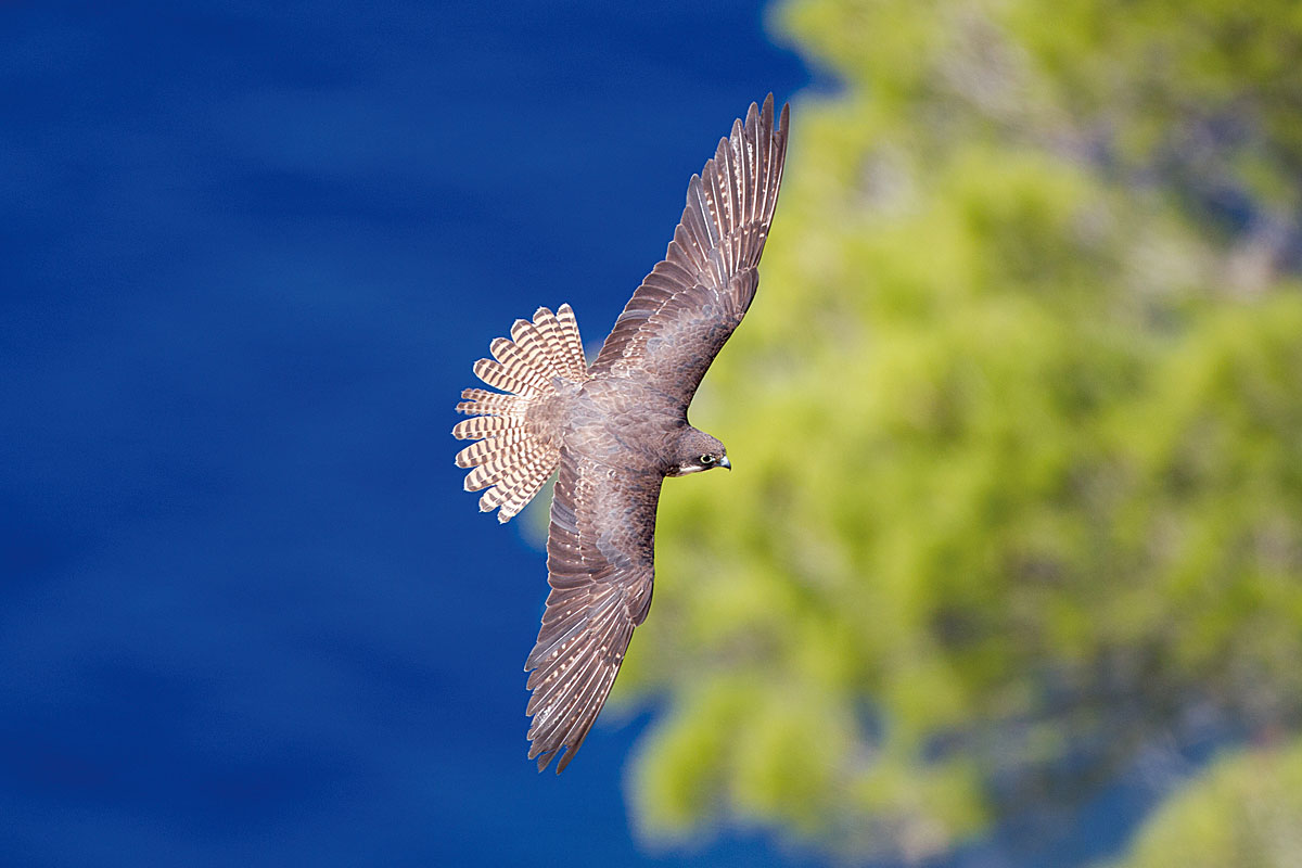 The Axis of the Earth and the Eleonora's Falcon
