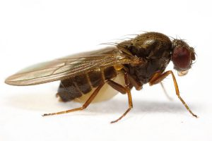 Drosophila subobscura