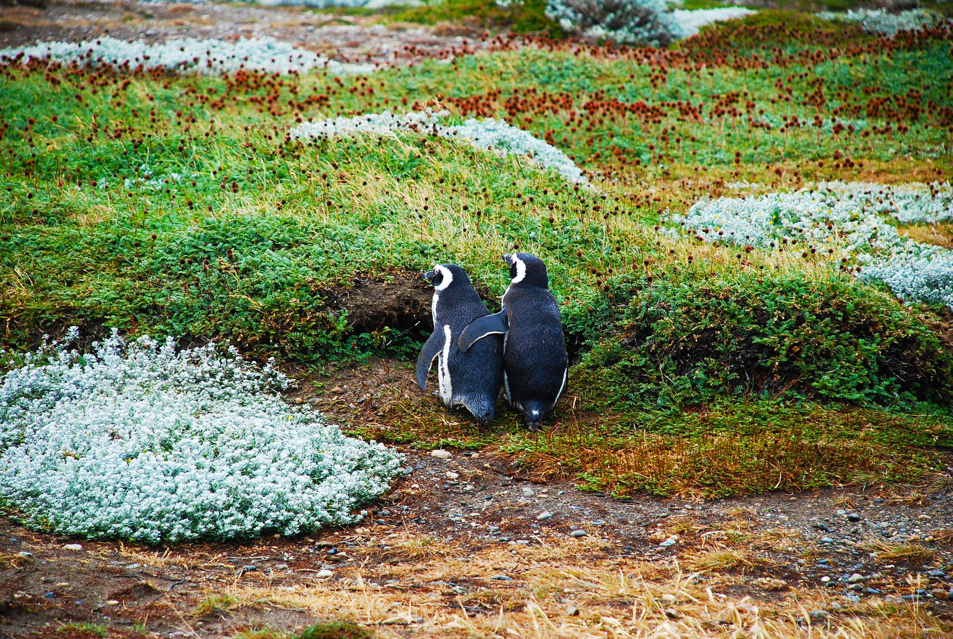 A couple of Magellanic penguins. / EzPzPics