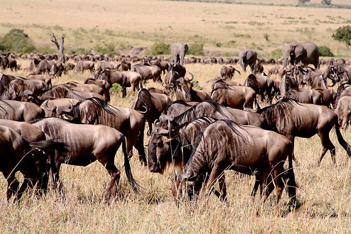 wildebeest biodiversity