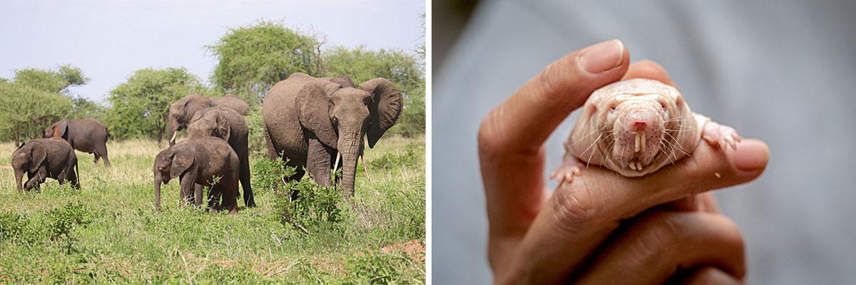 elephants and mole rat