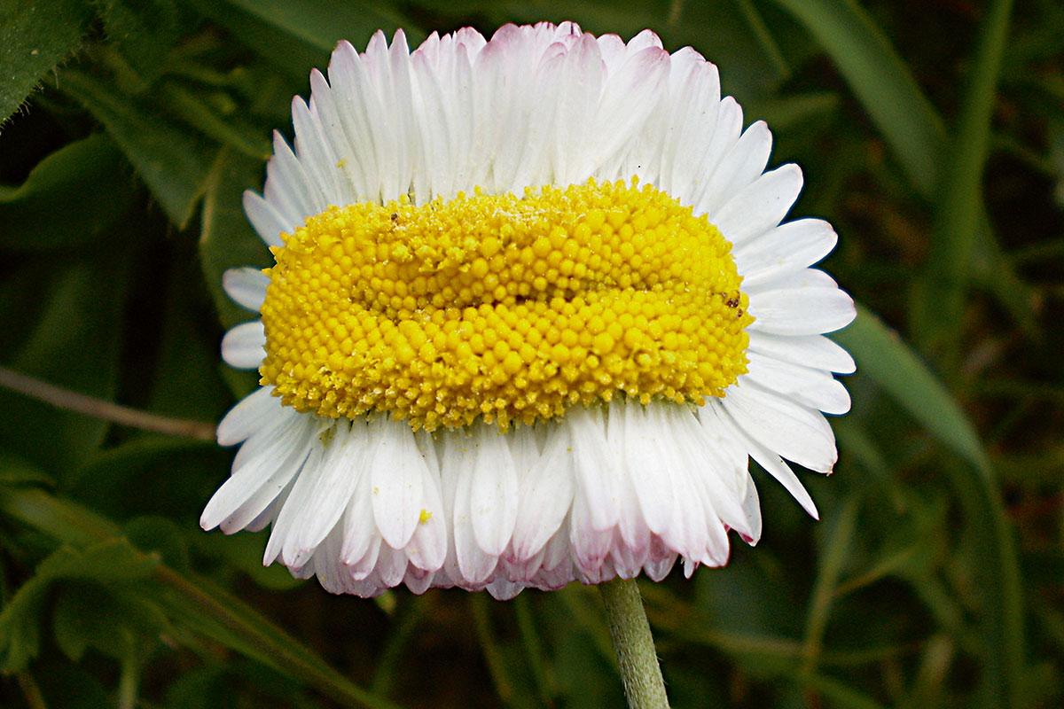 daisy cancer plants