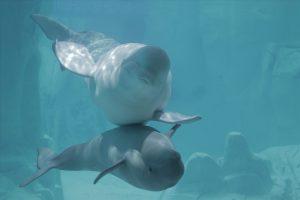 beluga mother and offspring