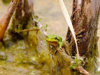 frogs biodiversity chernobyl
